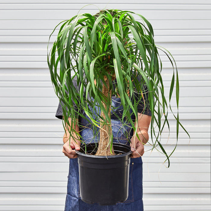 "Palm 'Ponytail' - In 10"" Pot"