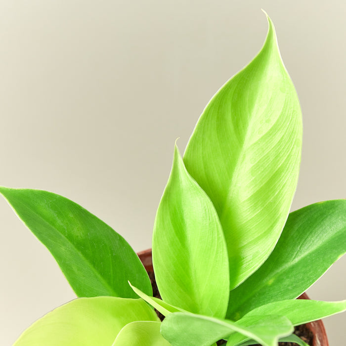 Philodendron 'Moonlight' - House Plant Shop