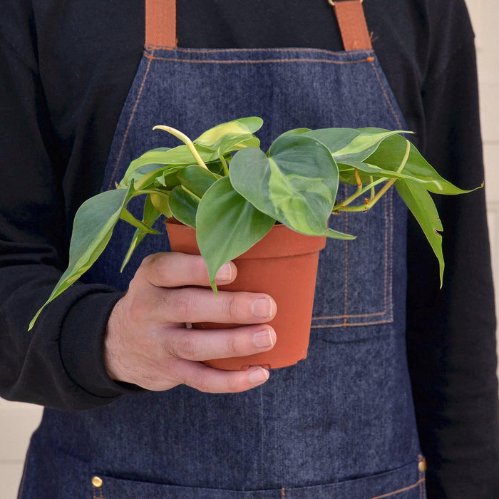 Philodendron Hederaceum 'Brasil' - House Plant Shop