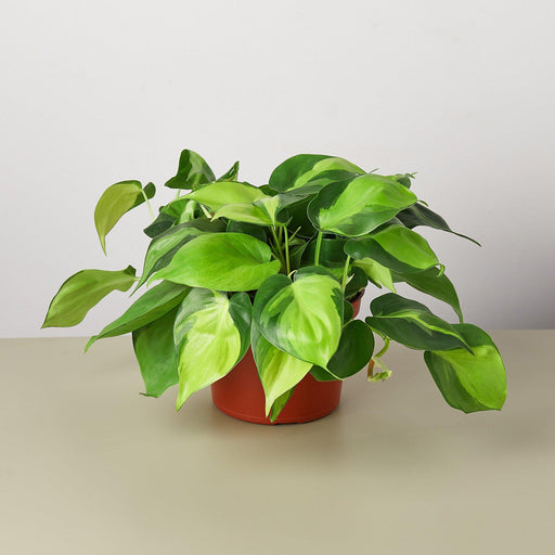 "6"" potted philodendron brasil"