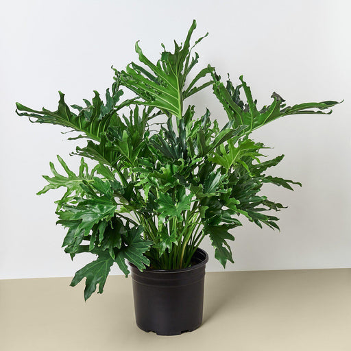 "10"" potted Philodendron lickety split"