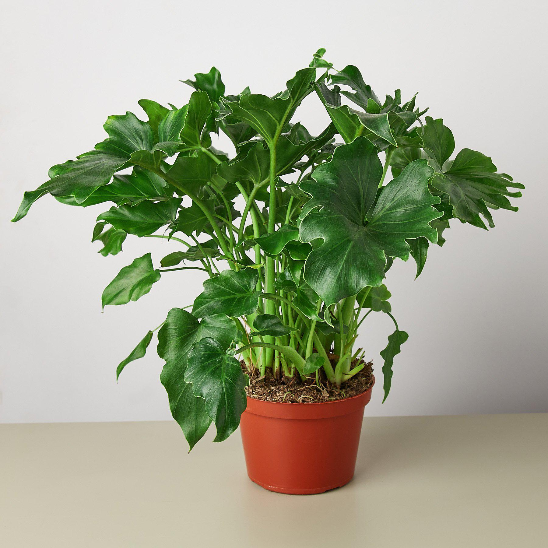 Philodendron 'Little Hope' - House Plant Shop