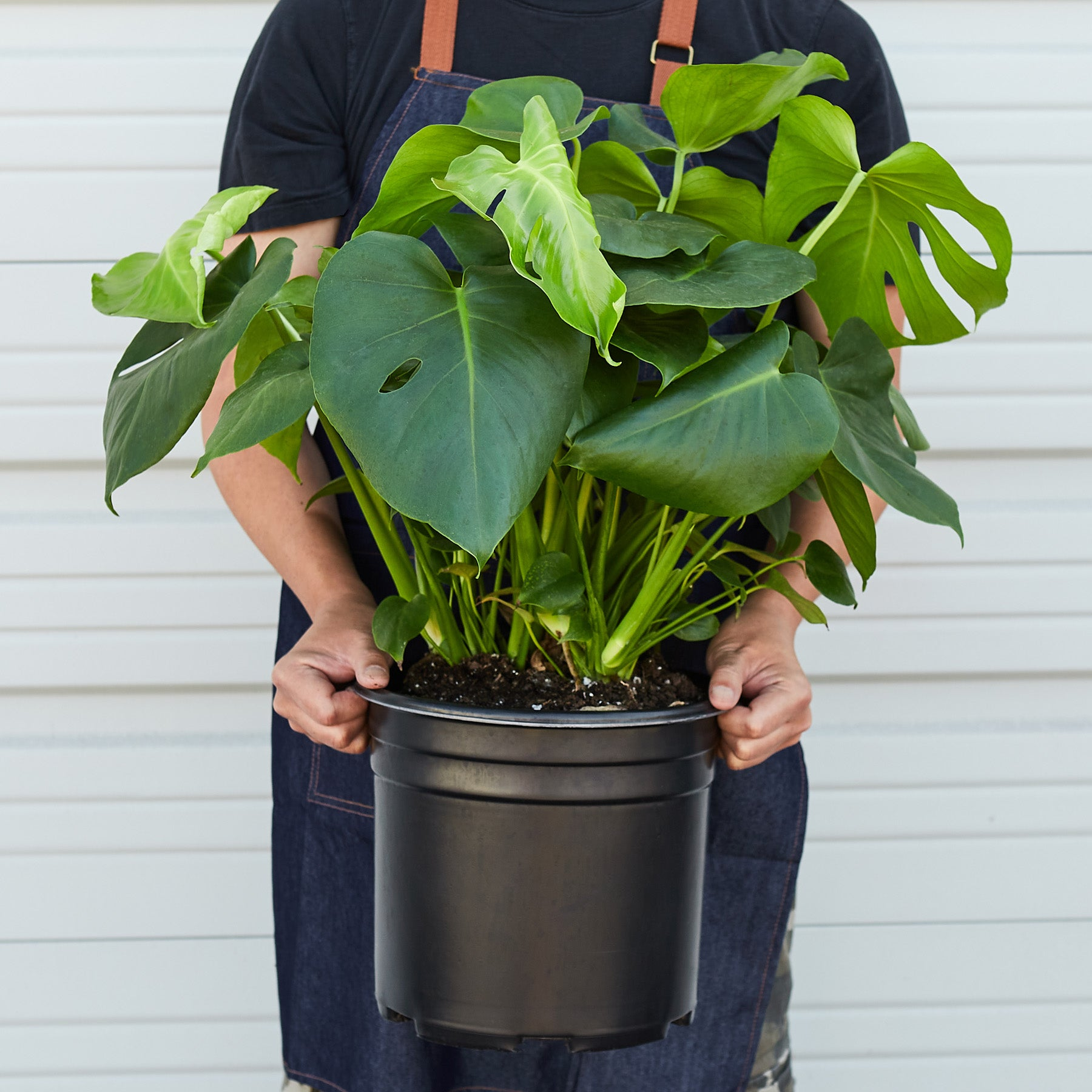 Philodendron 'Monstera' - 10