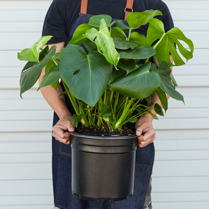 "Philodendron 'Monstera' - 10"" Pot"