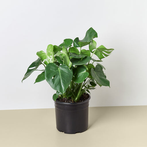"10"" potted Philodendron Monstera"
