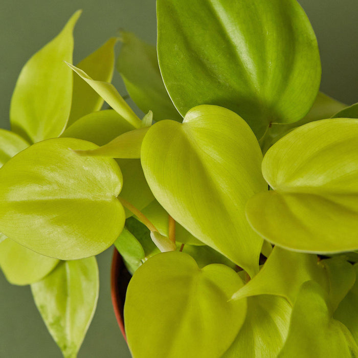 closeup of philodendron neon