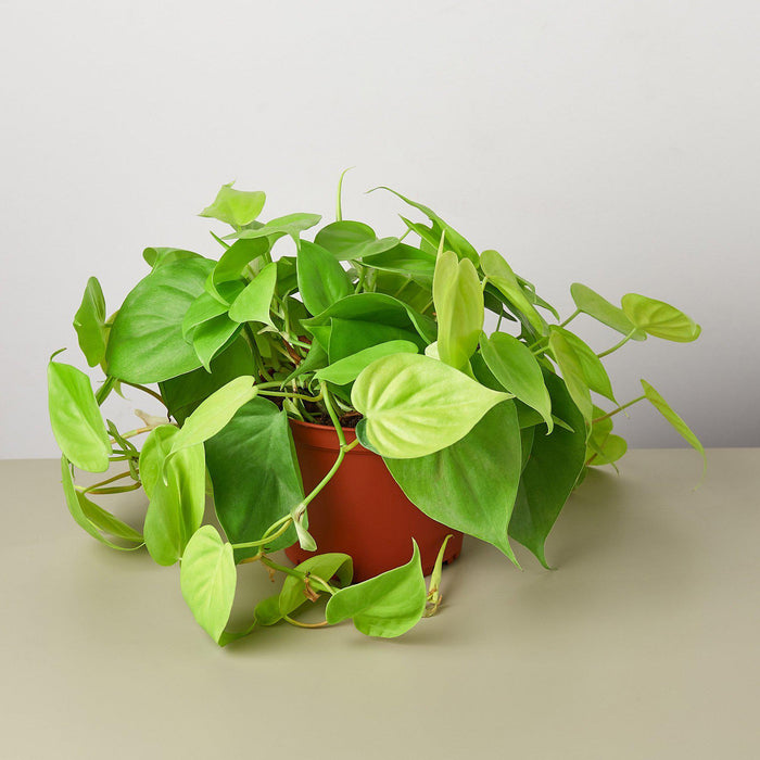 "6"" potted Philodendron neon"