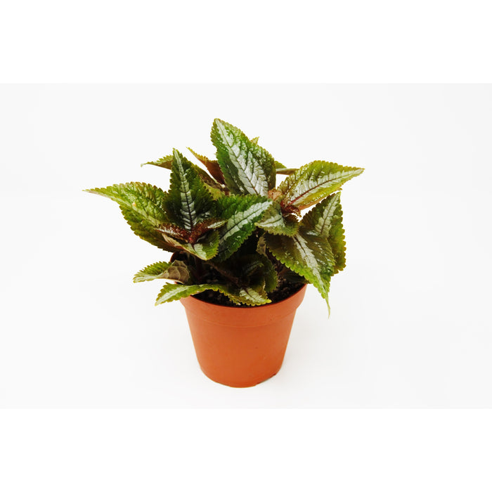 "Pilea 'Bronze' - 4"" Pot"
