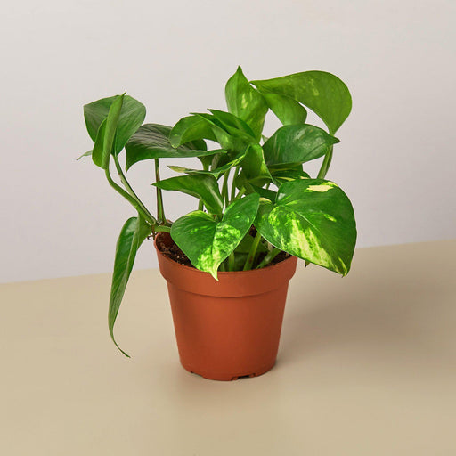 "4"" potted Pothos Golden"