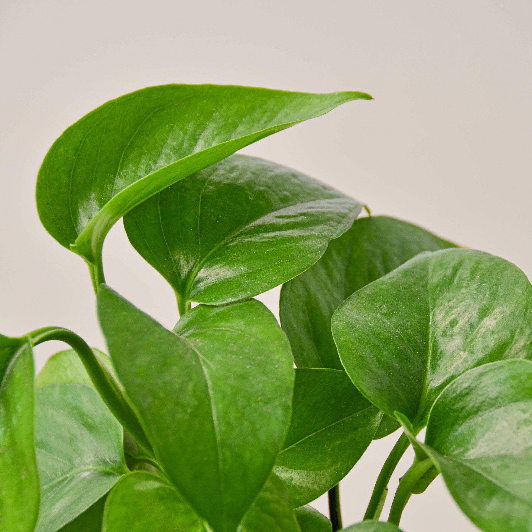 Pothos 'Green Queen'