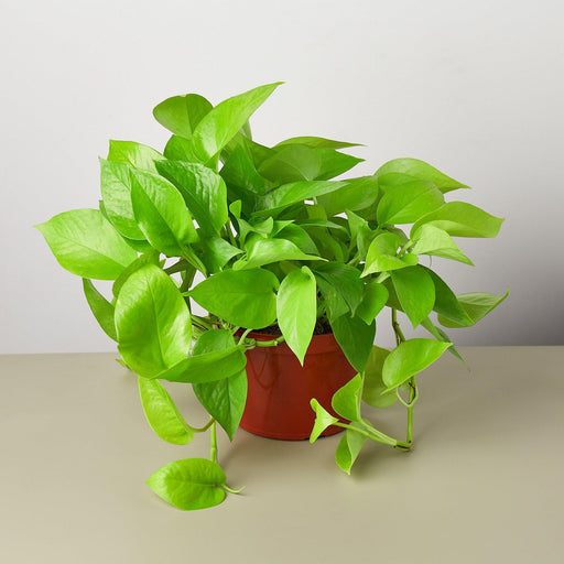 "6"" potted Pothos Neon"