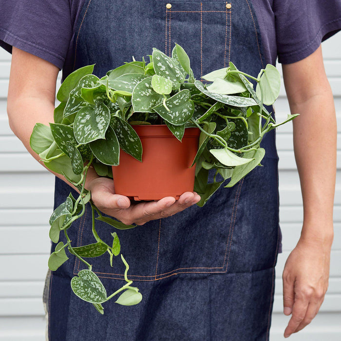 "Man holding 6"" potted Pothos Satin"
