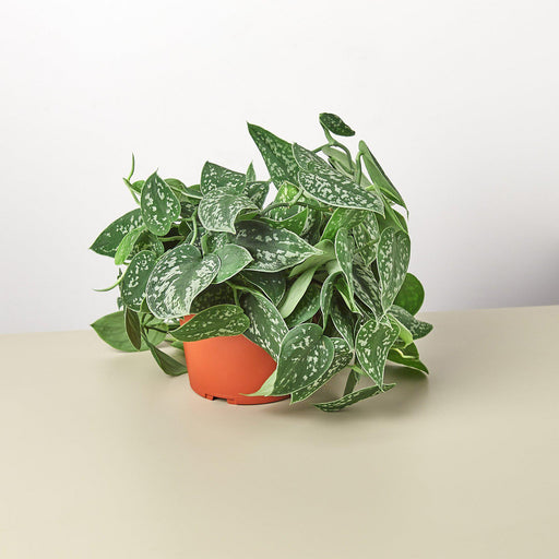 "6"" potted Pothos Satin"