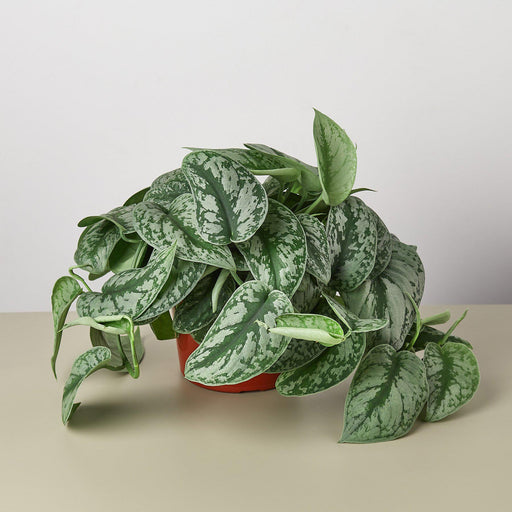 "6"" potted Pothos Silver Splash"