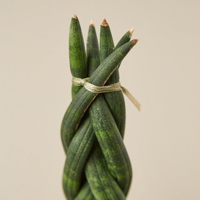 closeup of Snake plant Braided