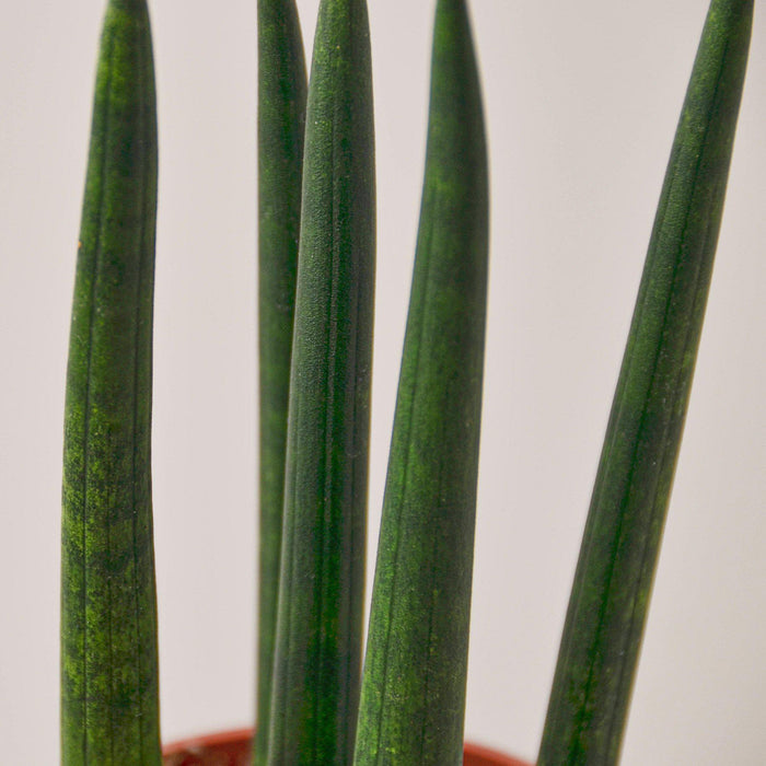 Snake Plant 'Cylindrica'