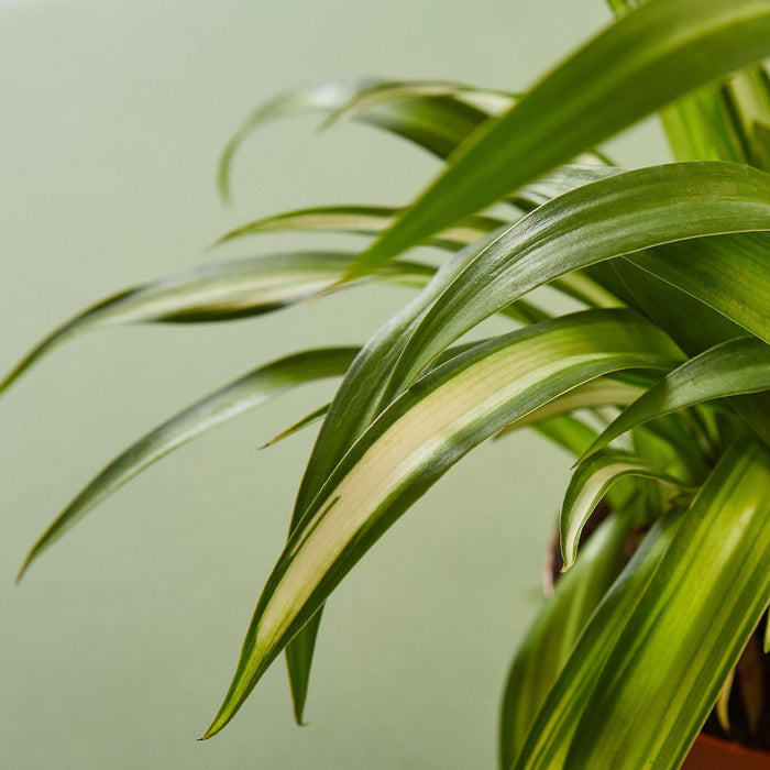 Spider Plant 'Hawaiian'