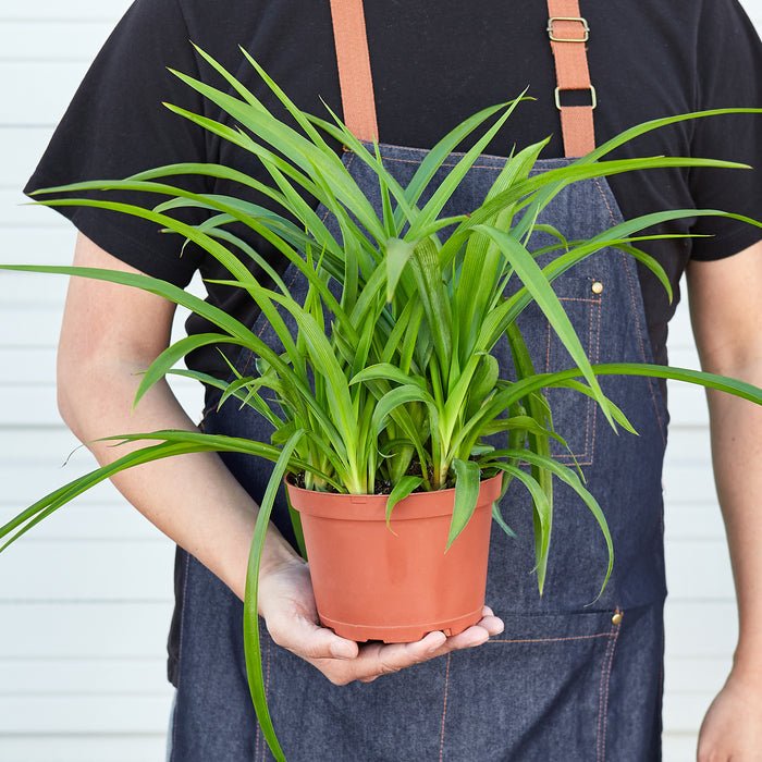 Spider Plant 'Green'