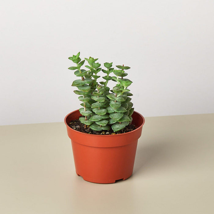 "Succulent Crassula 'Jade Necklace' - 4"" Pot"