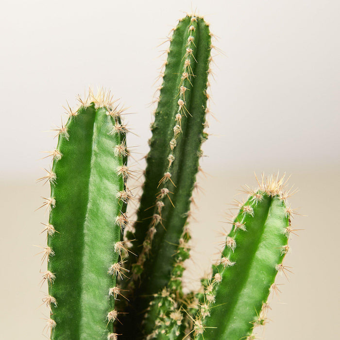 Fairy Castle Cactus - House Plant Shop