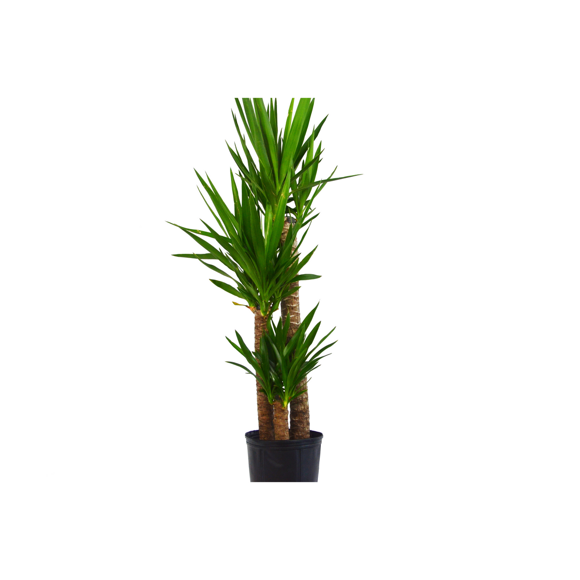 "Yuca Elephantipes 'Spineless Yucca' 3-4 ft Tall - In 10"" Pot"