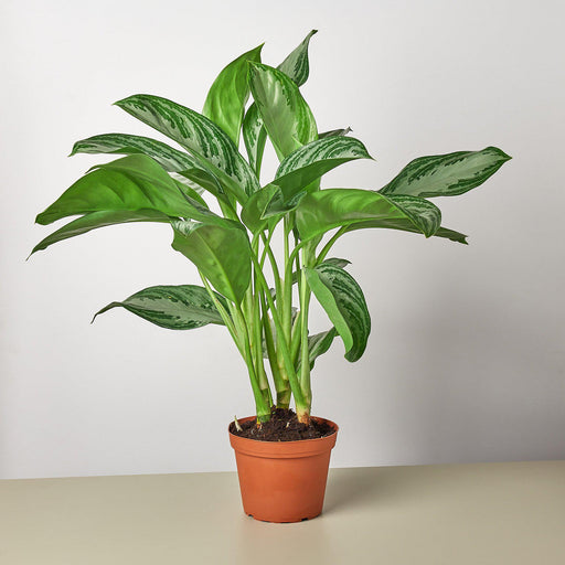 "6"" potted Chinese Evergreen Silver Bay"