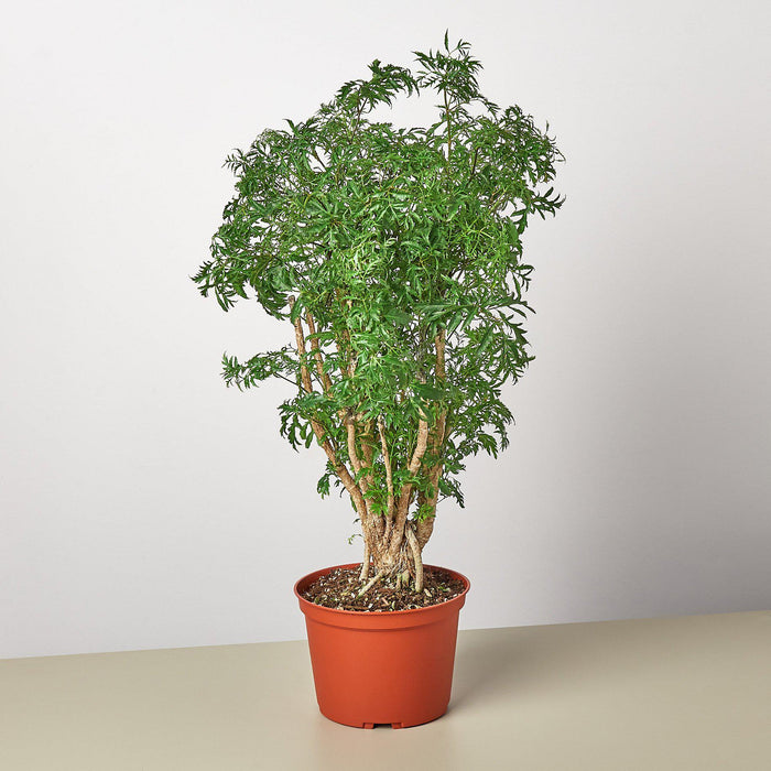 "6"" potted Aralia Ming Stump plant"