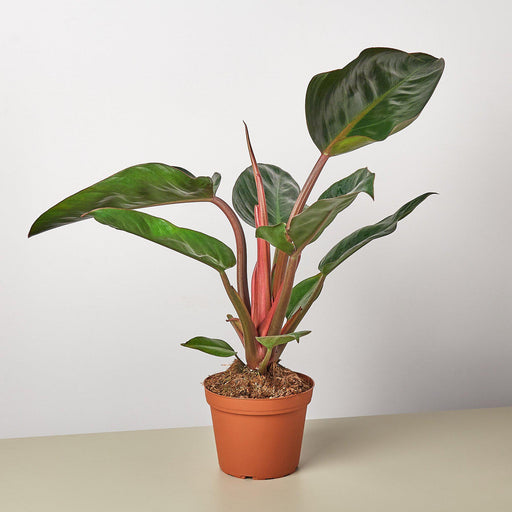"6"" potted Philodendron Congo Rojo"