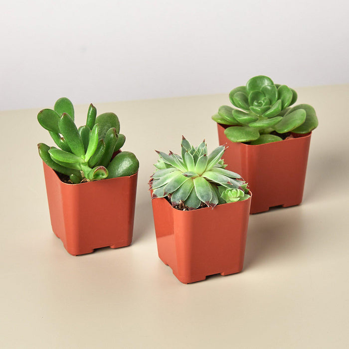 "3 Succulent Variety Pack - 2.0"" Pot"