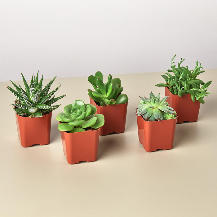 "5 Succulent Variety Pack - 2.0"" Pot"