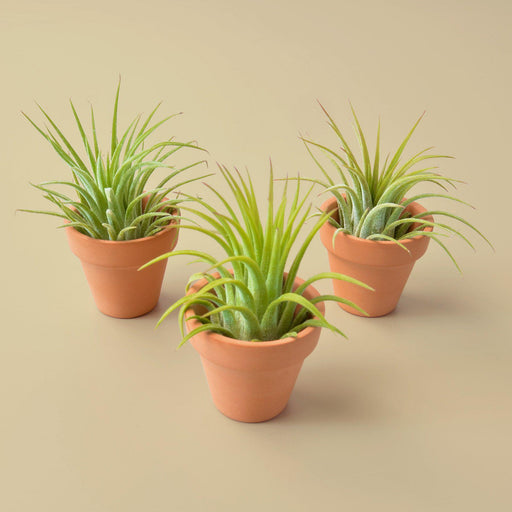 3 Ionantha Air Plants with Mini Terra Cotta Pots