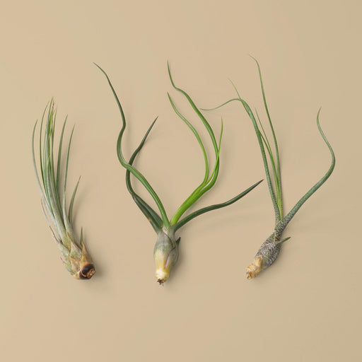 Picture of Juncea, bulbosa, and Butzii air plants