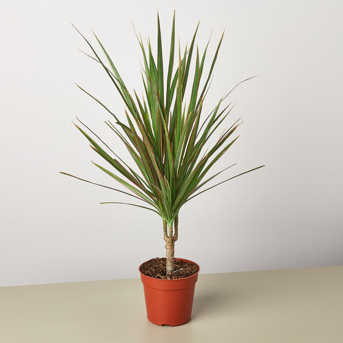 Dracaena 'Red Margined'