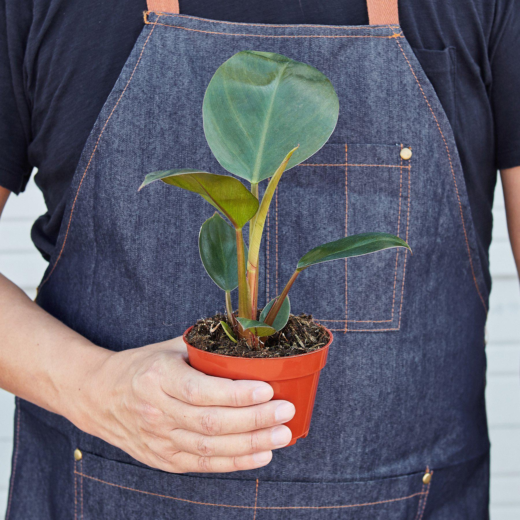 Philodendron 'Congo Rojo' - House Plant Shop