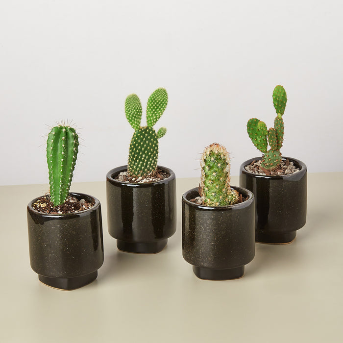 "4 Pre Potted Cacti Variety Pack - 3.0"" Pot - House Plant Shop"