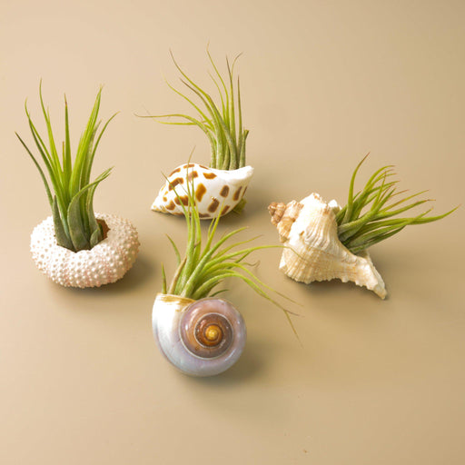 4 different seashell varieties with Tillandsia Kolbii display