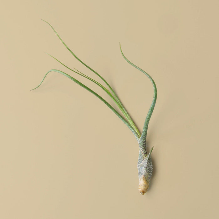 Tillandsia Air Plant Butzii