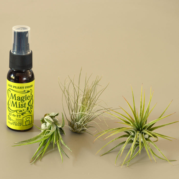 Air plant Fertilizer spray next to tillandsia Kolbii, tillandsia Fuschii, and Ionantha guatemala