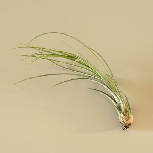 Tillandsia Air Plant Juncea