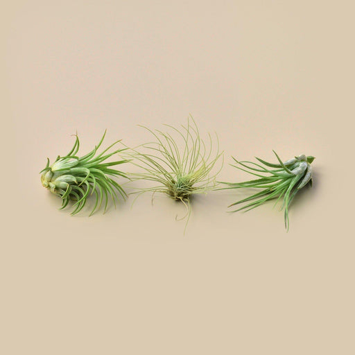 Picture of Ionantha guatemala, Fuschii, and Kolbii air plants.