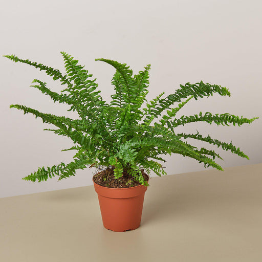 "4"" potted Jester's Crown Fern"