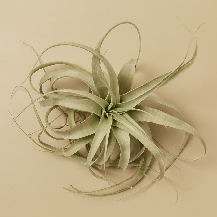 Tillandsia Air Plant Xerographica