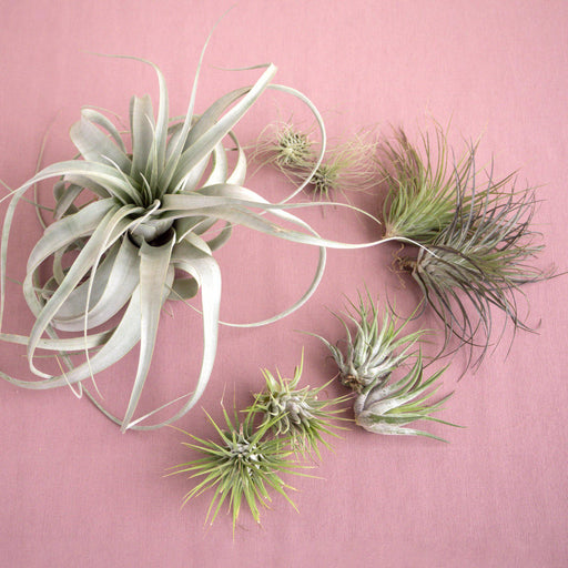 Mothers Day Air Plant Bundle
