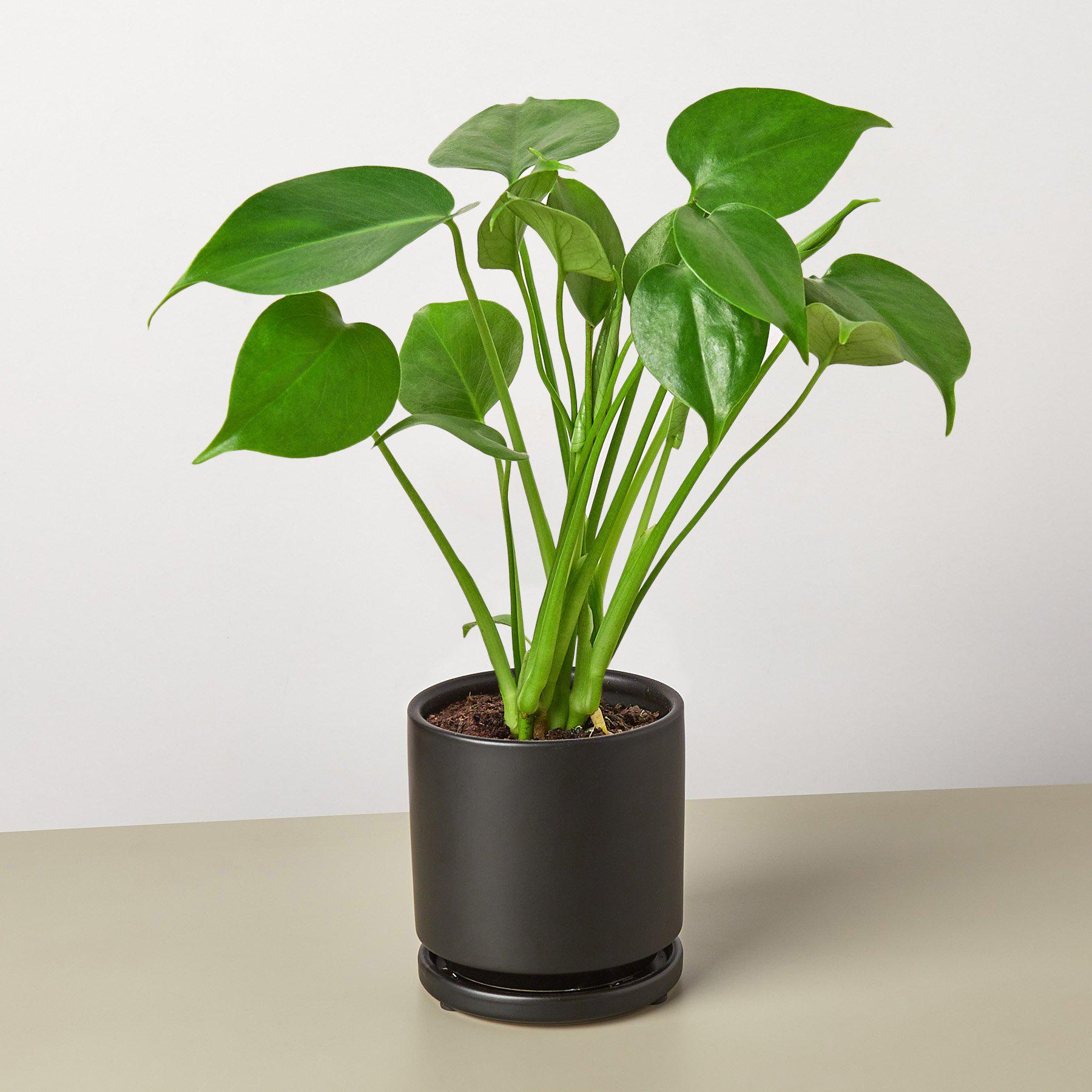 Philodendron Monstera 'Split-Leaf'