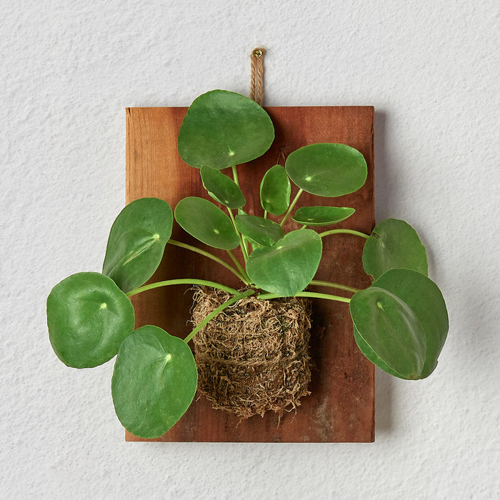 Pilea Peperomioides 'Chinese Money' on Wood