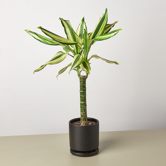Dracaena 'Sted Sol Cane'