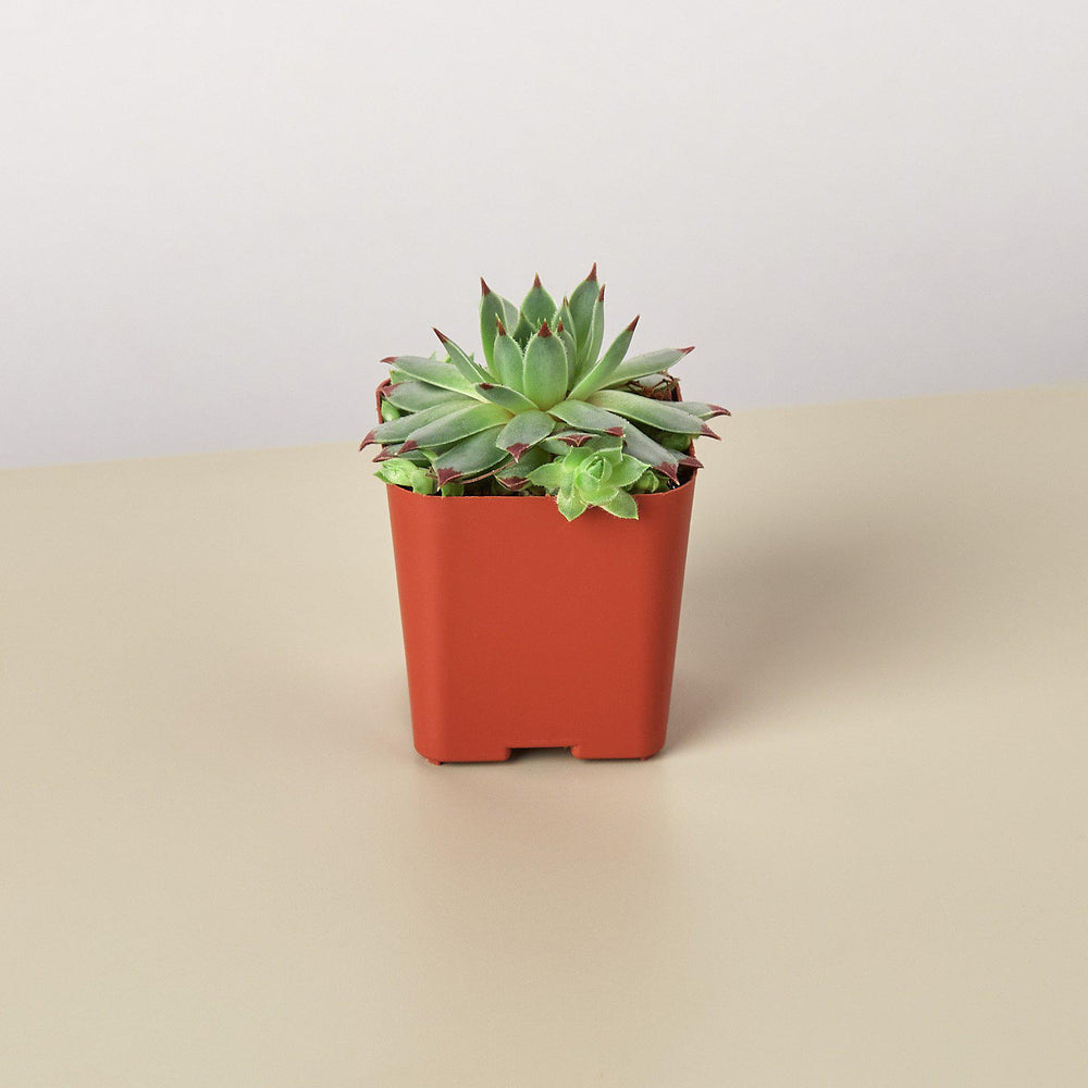 "2"" potted echeveria succulent"