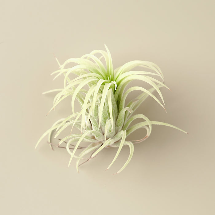Tillandsia Ionantha 'Mexico' Air Plants - 2 Inch