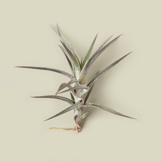 Tillandsia Air Plant Jonesii