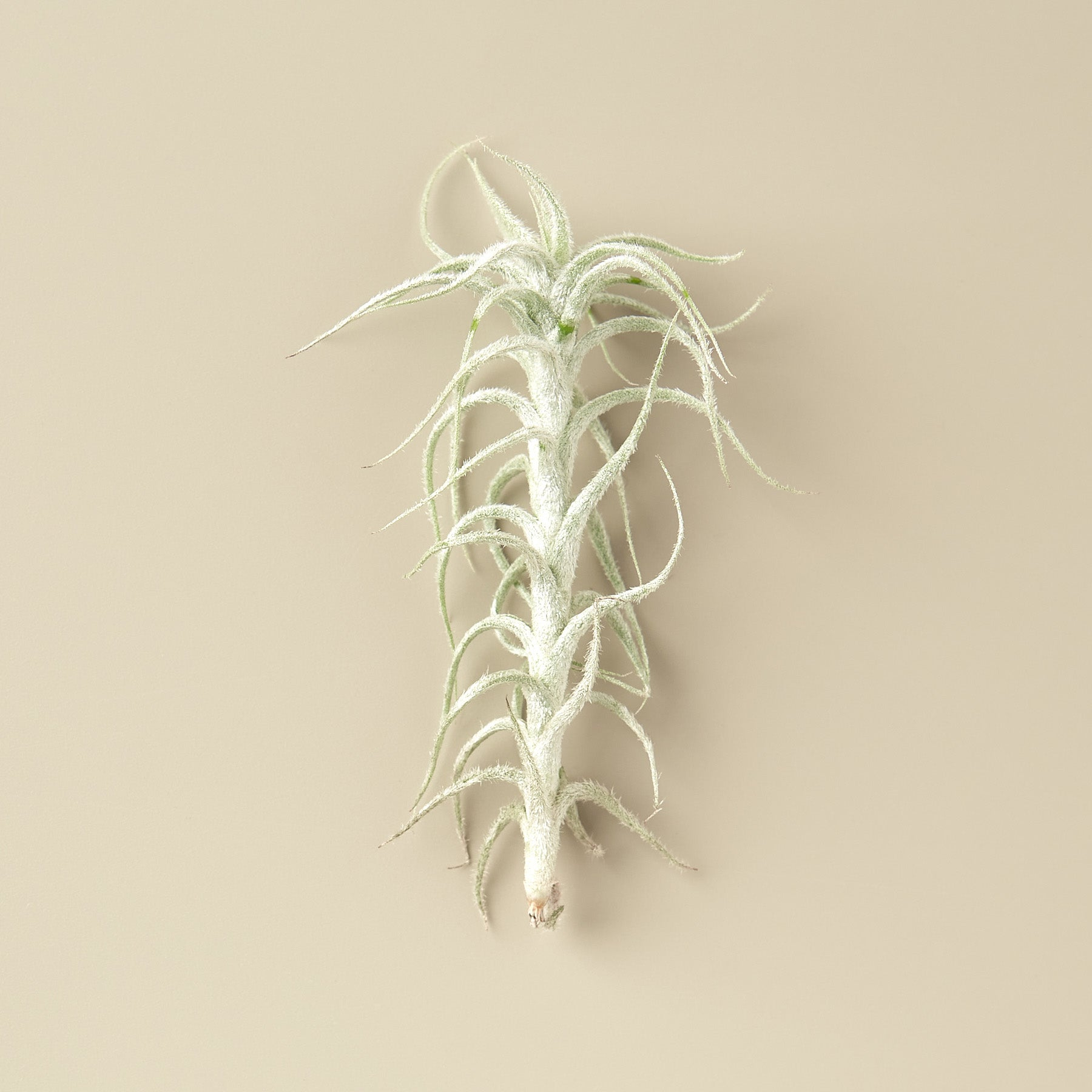 Tillandsia Stellifera Air Plants - 2 Inch